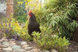Can I Raise Chickens In My Backyard Can You Plant Lemongrass In Your Chicken Garden Backyard Chickens
