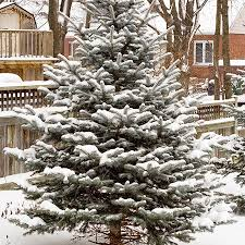 blue spruce tree for sale fast growing trees