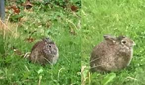 super fat bunny in my backyard rabbits