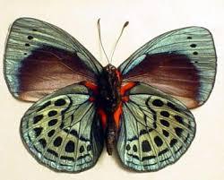 blue morpho butterfly callithea philotmia verso
