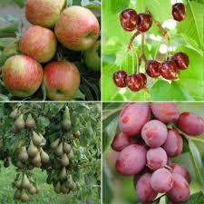 bargains sale mini orchard fruit trees 24 99