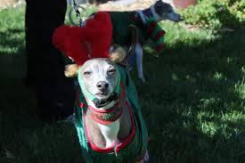 Elf Costume Halloween Halloween Costumes Italian Greyhound Dogs Cute Pictures