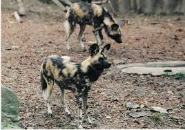 New Jersey wild animals images Wild dog foundation jpg