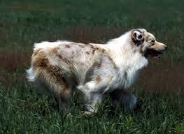 australian shepherd dog australian shepherd history u0026 training temperament
