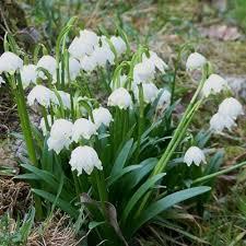 Snowflake Flower - 41 best sample plants images on pinterest garden plants flower