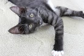 domestic short hair spca cats turbo kitty kitten cat u2013 a style