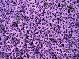 free images blossom flower purple bloom spring herb blue
