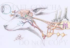 Internal Dog Anatomy Sympathetic Pathway To The Dog Head Ismael Concha