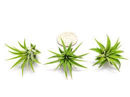 mini plants miniature air plants pack fairy garden plants for enchanted gardens