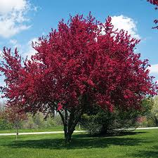 profusion crabapple tree for sale fast growing trees
