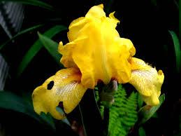 native plants of japan iris new hampshire garden solutions