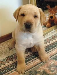 australian shepherd lab mix shedding lab pei shar pei x lab mix temperament training puppies pictures