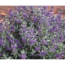 Bluebeard Flower - shop 2 25 gallon bluebeard l14469 at lowes com