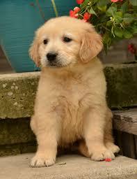 Comfort Retrievers Golden Retriever Puppies For Sale Lancaster Puppies