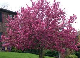 flowering crabapple trees crabapples excellent color