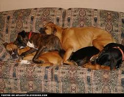 boxer dog meme sweet dreams these cute canines look all comfy and cozy as they