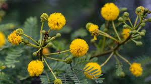 native african plants acacia san diego zoo animals u0026 plants