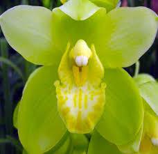 cymbidium orchid buy bulk green cymbidium orchids for weddings at wholesale