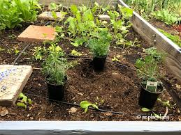 Keep Cats In Backyard Cats In The Garden And An Old Fashioned Herb With Repelling