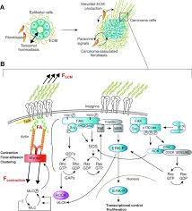 Cell Cycle Concept Map Mechanical Signaling Through The Cytoskeleton Regulates Cell