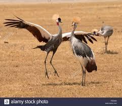 grey crowned crane or crested crane breeding display national