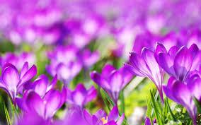 purple crocus flowers wallpapers hd wallpapers