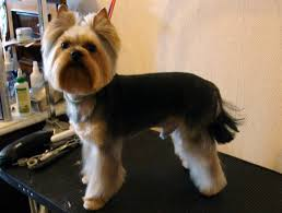 haircuts for yorkies top 105 latest yorkie haircuts pictures yorkshire terrier haircuts