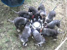 feeding a bedlington terrier bedlington terrier puppies dinner time youtube