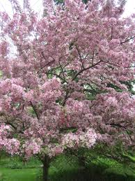 apple trees in blossom for a at the beginning of