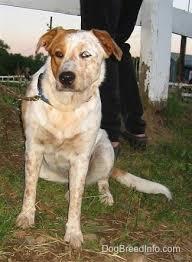 australian shepherd vs blue heeler texas heeler dog breed pictures 1