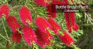 bottle brush tree care how to grow the callistemon