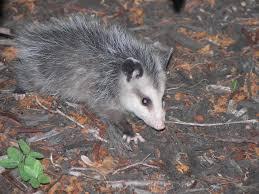 opossums and rats coronado u0027s wild things coronado times