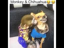 Funny Chihuahua Memes - monkey chihuahua talking youtube