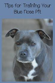 american pit bull terrier lab mix best 25 blue nose pitbull puppies ideas on pinterest blue pits