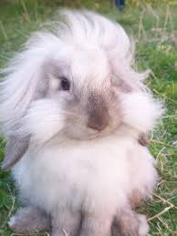 lion heads for sale best 25 lionhead rabbit ideas on rabbits fluffy