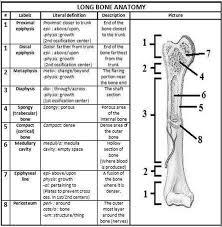 Human Anatomy Worksheet Label Parts Of A Bone Worksheet Anatomy Of A Long Bone Worksheet