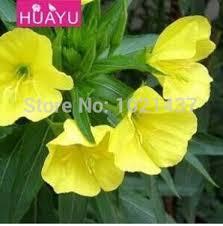 Fragrant Plants For Pots - cheap jasmine plant for sale find jasmine plant for sale deals on