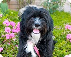 bearded collie adoption angelique adopted dog los angeles ca bearded collie shih