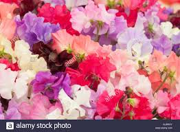 sweet peas flowers multi colored bouquet of sweet pea flowers in a country show