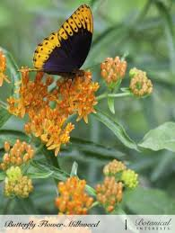 butterfly flower thumb butterfly flower milkweed 1 jpg