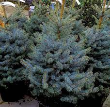 living trees for sale uk paramount plants