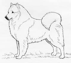 american eskimo dog black breed standards american eskimo united kennel club ukc