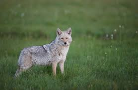 is this coyote wolf hybrid taking over north america animal