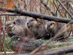 two beavers spotted at point pelee windsor star