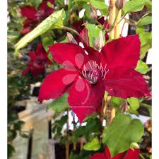 transform a wall or pergola with climber plants sarah raven