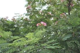 Purple Leaf Peach Tree by Brighten Your Back Yard With A Colorful Mimosa Tree Stark Bro U0027s