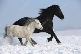 Black Horse Mustang Black Horse And White Pony Running Together U2014 Stock Photo Zuzule