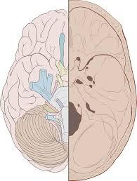 Nervous System Human Anatomy Cranial Nerves Wikipedia