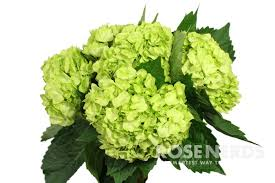 wholesale hydrangeas mini green hydrangeas wholesale flowers