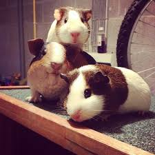 we got some animal garden ornaments today the guinea pigs seemed